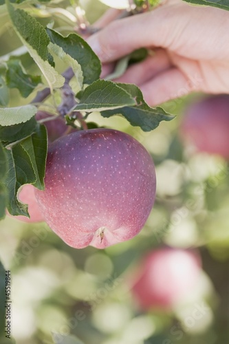 A hand holding a branch with apples
