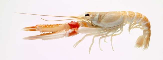 A Norway lobster