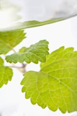 Lemon balm in a glass of water (close-up)