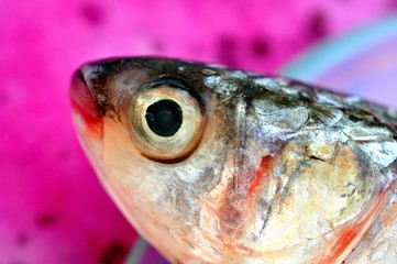 A red snapper head
