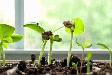 Zucchini Seedlings in a Window Sill