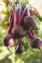 Hands holding fresh beetroot