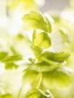 Flat-leaf parsley (close-up)