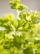 Curly parsley (close-up)
