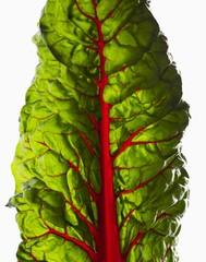 Red Chard Leaf (Close-up)