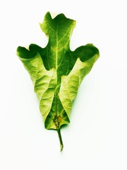 A green oak leaf