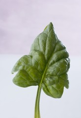 A spinach leaf