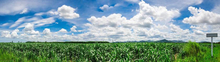 Sugarcane fields in Hua Hin Thailand