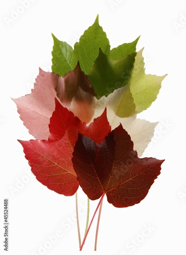 Colorful Virginia Creeper leaves