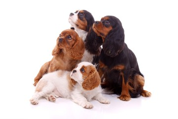 Cavalier King Charles -  Gruppe Junghunde