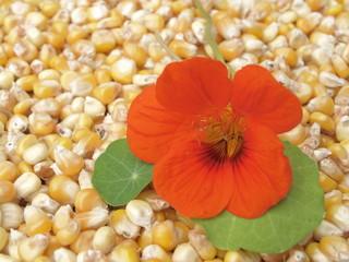 Kapuzinerkresse auf Mais