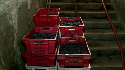 Loading boxes with grapes in the cellar of the winery