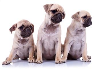 three seated pug puppy dogs