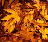 Fototapeta jesienny - tło - Roślinne