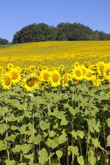 Edge of sunflower field