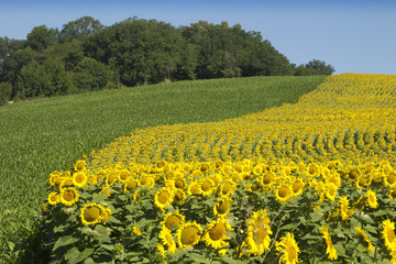 Edge of sunflower field