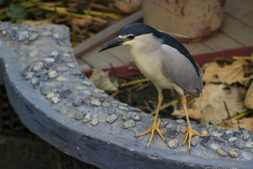 Black-Crowned Night Heron (Nycticorax)