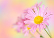 pink chrysanthemum flowers on colorful background