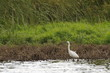 Aigrette garzette dans son environment naturel