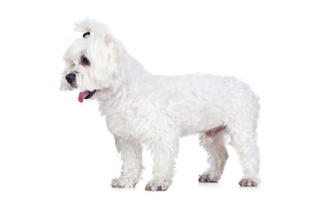 White Dog Isolated on White