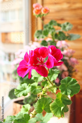 Pink and red pelargonium  on window