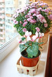 Beautiful  cyclamen in a basket