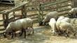 corderos pastando