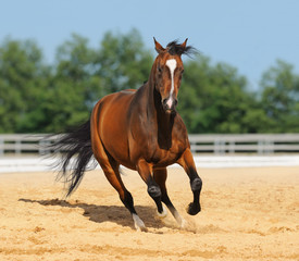 Trakehner red-bay color stallion in motion