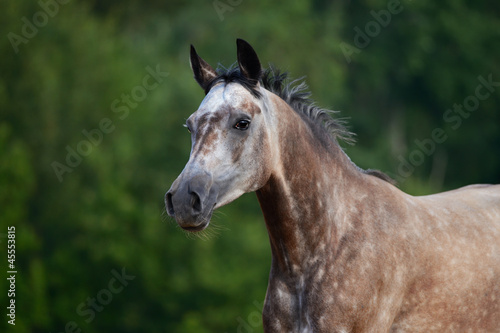 Portrait of red-gray arabian horse in motion