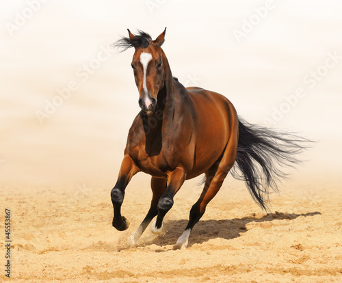 Trakehner red-bay color stallion in motion