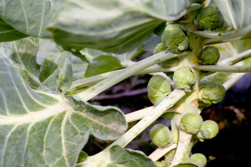 Brussel sprouts on plant