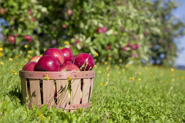 Fall Apple Harvest