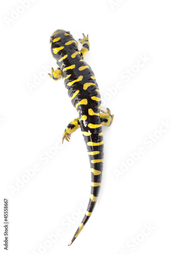 Tiger Salamander  on White Background