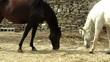caballos granja