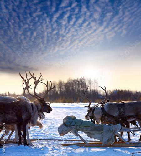 Northern deer on snow