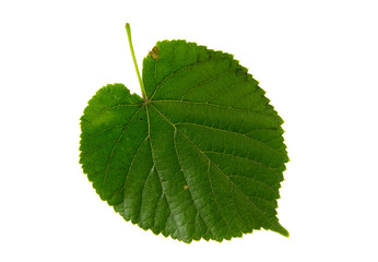 Green leaf of lime tree