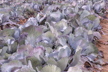 Closeup of red cabbages in the field