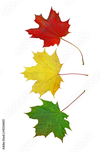 Traffic light colors from colorful maple leaves