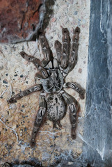 Tarantula - Heceroscodra maculata