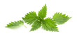 Leaves of nettle isolated