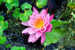 Pink Waterlily on Pond