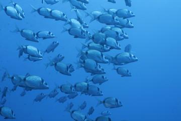 banco pesci  saraghi liguria mediterraneo