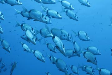banco pesci  saraghi liguria