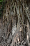 Buddha head encased in tree roots at the temple of Wat Mahatat
