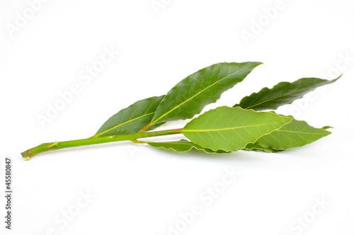 Branche de laurier sauce
