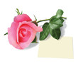 Beautiful pink rose and piece of paper. (Used mesh tool).