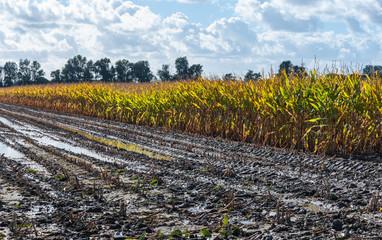 Silage maize in autumn sun