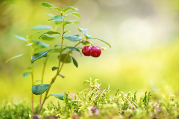 Cowberries on a green sunlit background in woods