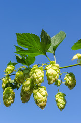 branch of green hops