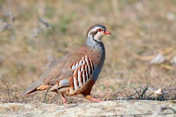 Red partridge wild